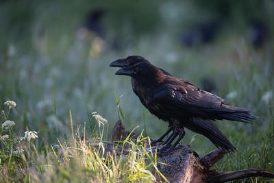 Młodociane kruki (Corvus corax) ©Mateusz Matysiak