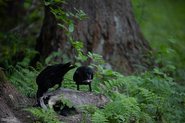 Młodociane kruki (Corvus corax) obierające z sierści martwego borsuka Bieszczady ©Mateusz Matysiak