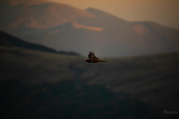 Kruk (Corvus corax) odlatujący z porcją mięsa z ofiary wilków Bieszczady ©Mateusz Matysiak