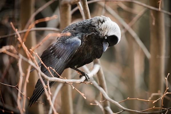 Samiec kawki (Corvus monedula) w czasie godów ©Mateusz Matysiak