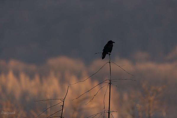 Kruk (Corvus corax) o wschodzie Bieszczady ©Mateusz Matysiak