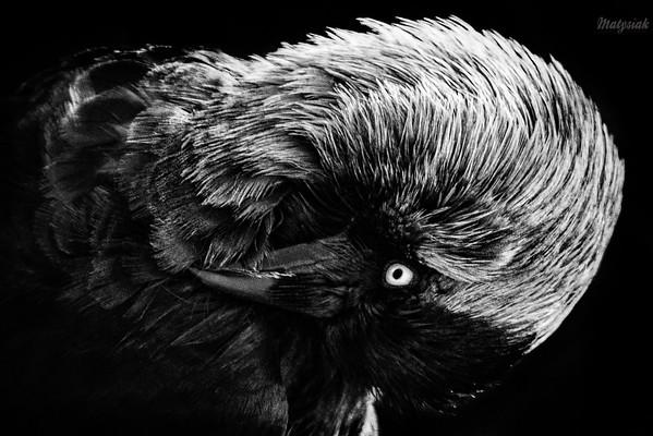 Samiec kawki (Corvus monedula) podczas toalety ©Mateusz Matysiak