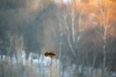 Kruk (Corvus corax) dolina Sanu, Bieszczady ©Mateusz Matysiak