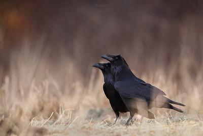 Para kruków (Corvus corax) podczas zalotów ©Mateusz Matysiak