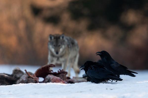 Kruki (Corvus corax) i wilk (Canis lupus) przy resztkach upolowanej łani Bieszczady ©Mateusz Matysiak
