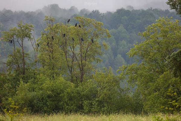 Kruki (Corvus corax) Bieszczady ©Mateusz Matysiak