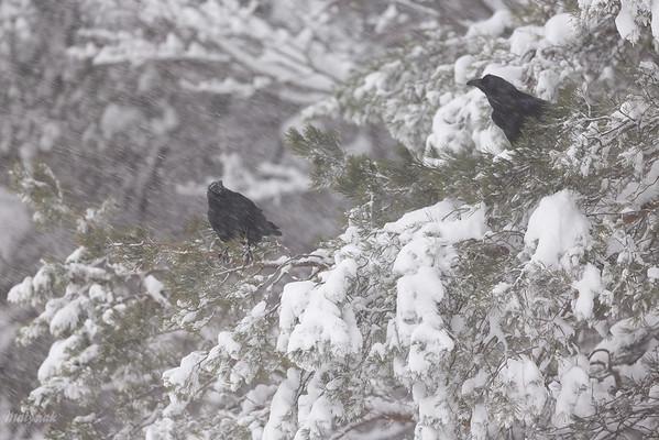 Kruki (Corvus corax) przeczekujące śnieżycę Bieszczady ©Mateusz Matysiak