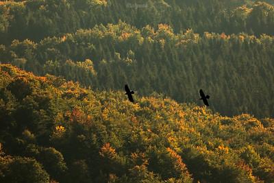 Para kruków (Corvus corax) Bieszczady ©Mateusz Matysiak