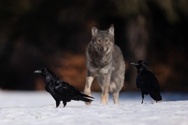 Kruki (Corvus corax) i wilk (Canis lupus) Bieszczady ©Mateusz Matysiak