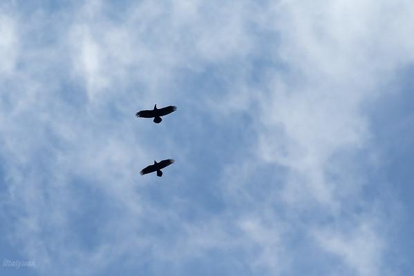 Para krążących kruków (Corvus corax) Bieszczady ©Mateusz Matysiak
