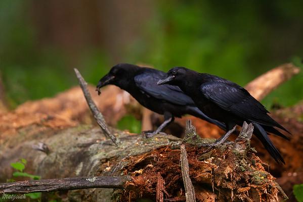 Młodociane kruki (Corvus corax) Bieszczady ©Mateusz Matysiak