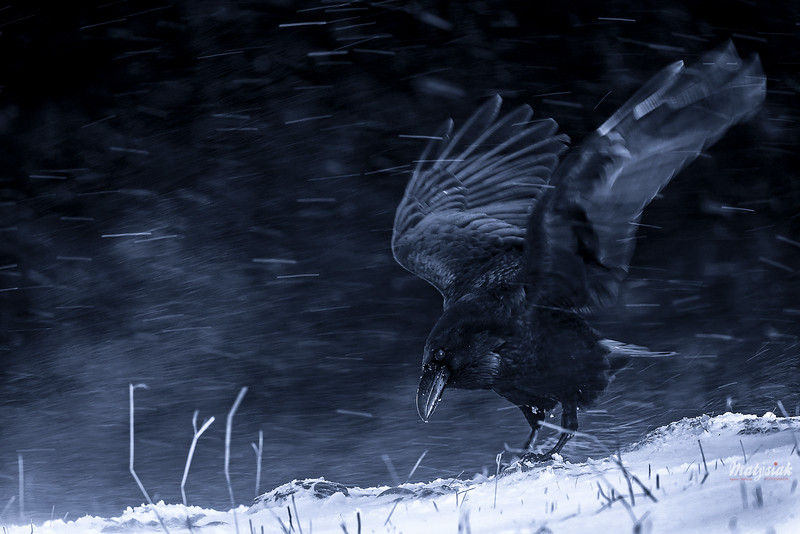 Władca śnieżnej burzy