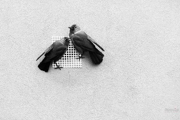 Zaskoczona para kawek (Corvus monedula) przy zamkniętym kratką wejściu do gniazda w otworze wentylacyjnym stropodachu Mszczonów, osiedle Północna, 20.02.2020 ©Mateusz Matysiak