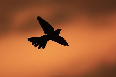 Kukułka (Cuculus canorus) podczas wieczornych toków ©Mateusz Matysiak