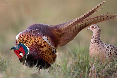 Bażant (Phasianus colchicus) Kogut (samiec) tokujący przed kurą (samica) ©Mateusz Matysiak