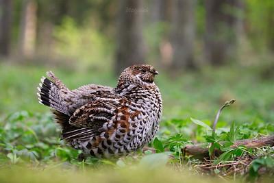 Jarząbek (Bonasa bonasia) Nastroszona samica w pobliżu gniazda ©Mateusz Matysiak