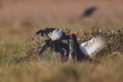Walka kogutów cietrzewi (Lyrurus tetrix) podczas toków ©Mateusz Matysiak