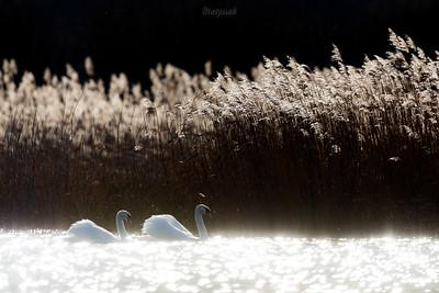 Para łabędzi niemych (Cygnus cygnus) Stawy w dol. Pisi Gągoliny Ziemia Chełmońskiego ©Mateusz Matysiak