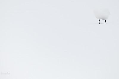 Łabędź niemy (Cygnus cygnus) podczas drzemki na zaśnieżonym lodzie Stawy w dol. Pisi Gągoliny; Ziemia Chełmońskiego ©Mateusz Matysiak