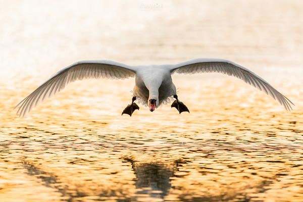 Łabędź niemy (Cygnus olor) Samiec atakujący intruza ©Mateusz Matysiak