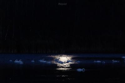 Stado łabędzi niemych (Cygnus olor) żerujących na stawie w blasku księżyca Dolina Pisi Gągoliny, Ziemia Chełmońskiego ©Mateusz Matysiak