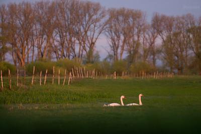 Słońskie łabędzie w wiosennnej zalewie II