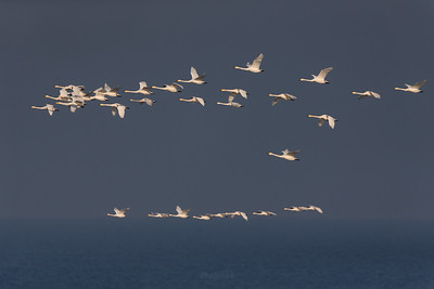 Stada łabędzi krzykliwych wędrujących nad Morzem Bałtyckim ©Mateusz Matysiak