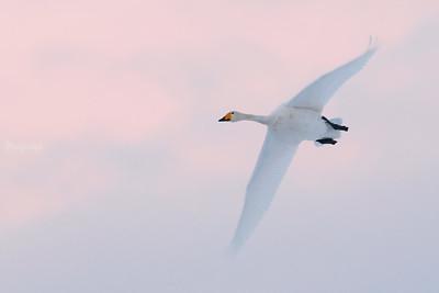 Łabędzie / Swans