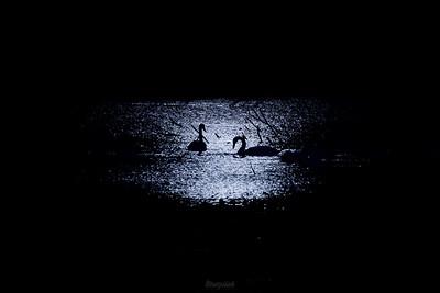 Łabędzie nieme (Cygnus olor) żerujące na stawie w blasku księżyca Dolina Pisi Gągoliny, Ziemia Chełmońskiego ©Mateusz Matysiak