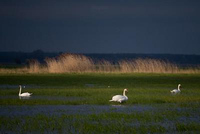 Słońskie łabędzie w wiosennnej zalewie I