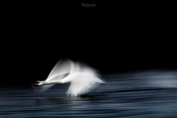 Łabędź niemy (Cygnus olor) Samiec startujący ©Mateusz Matysiak