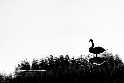 Czarno na białym - łabędź