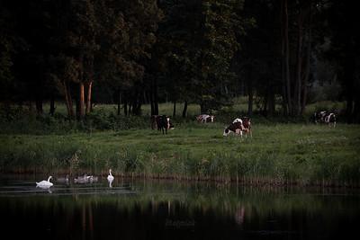 Łabędzie i krowy