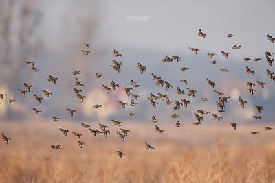 Makolągwy (Carduelis cannabina) ©Mateusz Matysiak