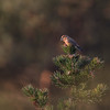 Krzyżodziób sosnowy (Loxia pytyopsittacus) - 1 ze stada ok. 30 os.<br /> 23.01.2018, zarośla kosodrzewiny na wydmach, Osetnik (gm. Choczewo, pow. wejherowski)<br /> ©Mateusz Matysiak