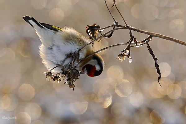 Szczygieł (Carduelis carduelis) żerujący na uczepach ©Mateusz Matysiak