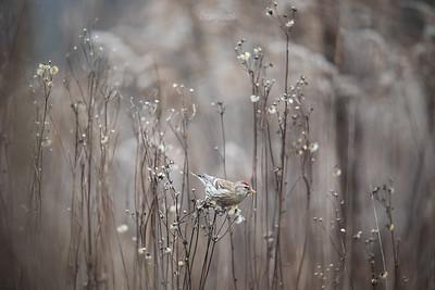 Czeczotka (Acanthis flammea) ©Mateusz Matysiak