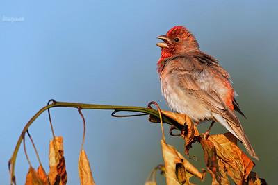 Śpiewający samiec dziwoni (Erythrina erythrina) ©Mateusz Matysiak