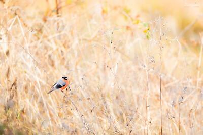 Żerujący samiec gila (Pyrrhula pyrrhula) ©Mateusz Matysiak
