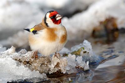 Zimowy szczygieł (Carduelis carduelis) gaszący pragnienie ©Mateusz Matysiak