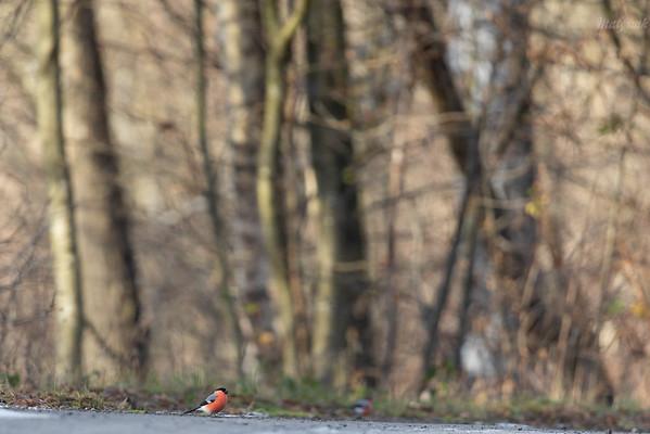 Samce gila (Pyrrhula pyrrhula) żerujące na poboczu stokówki Bieszczady ©Mateusz Matysiak