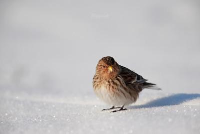 Rzepołuch na śniegu