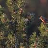 Krzyżodziób sosnowy (Loxia pytyopsittacus) - samiec w stadzie ok. 30 os.<br /> 23.01.2018, zarośla kosodrzewiny na wydmach, Osetnik (gm. Choczewo, pow. wejherowski)<br /> ©Mateusz Matysiak