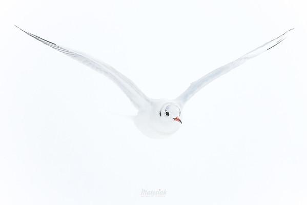 Białucha