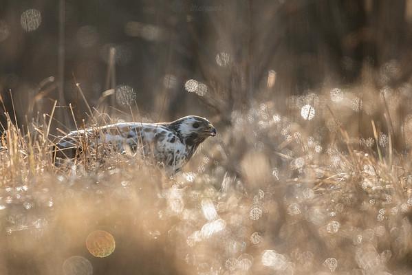 Jasny samiec myszołowa (Buteo buteo) ©Mateusz Matysiak
