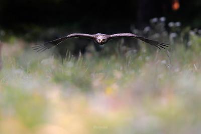 Orlik krzykliwy (Clanga pomarina) podczas ataku na gryzonia ©Mateusz Matysiak