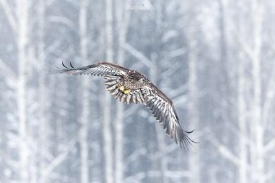 Niedojrzały bielik (Haliaeetus albicilla) ©Mateusz Matysiak