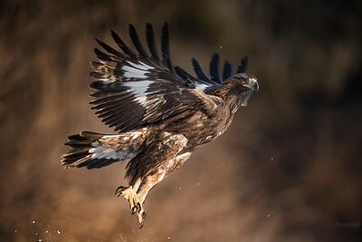Młodociany orzeł przedni (Aquila chrysaetos) Bieszczady ©Mateusz Matysiak
