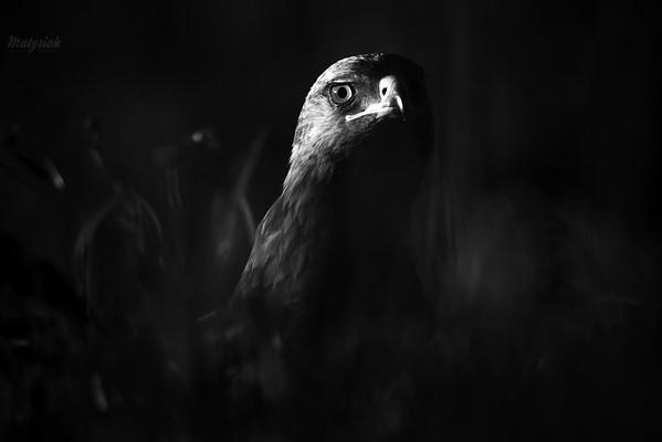 Orlik krzykliwy (Clanga pomarina) ©Mateusz Matysiak