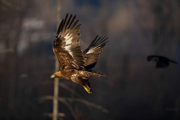 Orzeł przedni (Aquila chrysaetos) Bieszczady ©Mateusz Matysiak